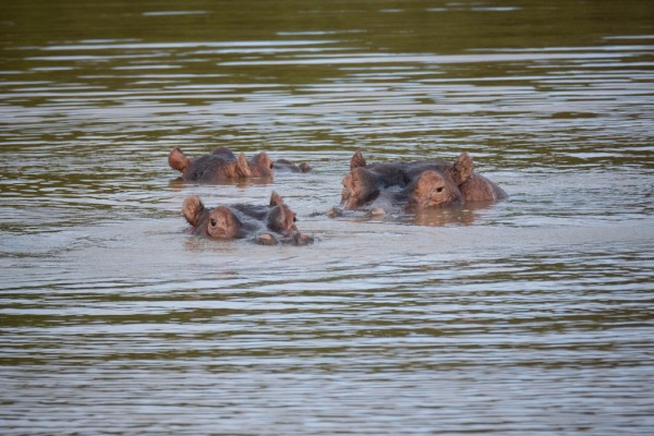 Hippos - PC: Stuart Price