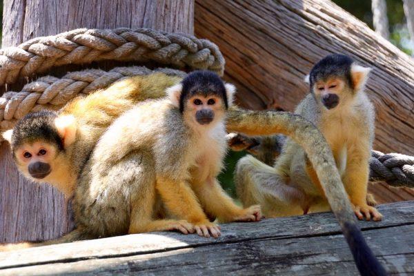 Squirrel Monkey Jungle Walk