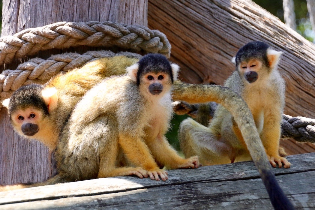 Squirrel Monkey Jungle Walk