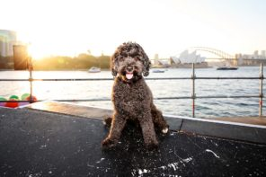 Casting Call: pampered pooches required for Opera Australia